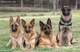 German Shepherd females at Kennles von Lotta: Quana, Fanta, Nemka, Handra