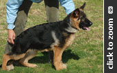 Imported German Shepherd puppy for sale