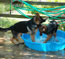German Shepherd puppies Jana and Jet at play