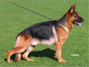 German Shepherd type: German show bloodlines example