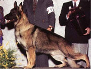 German Shepherd dog type: American show bloodlines example