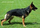 Handra vom Alyeska - a great working dog with very nice structure