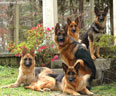 Kennels von Lotta German Shepherds