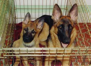 Crate Training German Shepherd Puppy Issues Misconception Advice