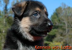 5 weeks old B-Litter puppy from Kennels von Lotta