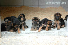 German Shepherd puppies 5 weeks old