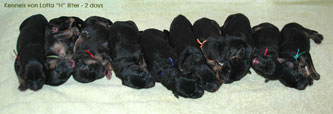 German Shepherd puppies: H- 