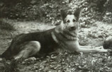Amur - a Soviet type GSD of the early 80s