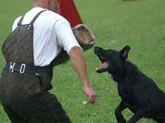young black GSD trying to catch the sleeve